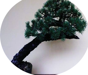 forocni il bonsai